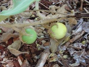 Solanum beaugleholei