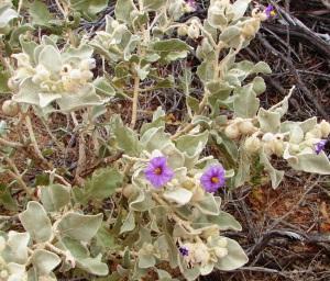Solanum lasiophyllum 2