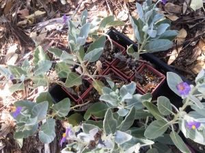 Solanum lasiophyllum