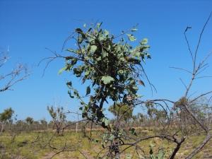Stenocarpus acacioides