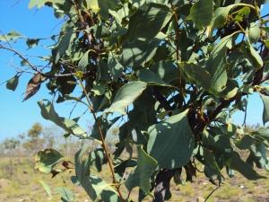 Stenocarpus acacioides2