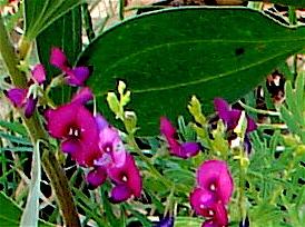 swainsona maccullochiana