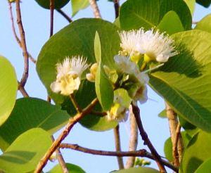 Syzygium eucalyptoides ssp bleeseri1