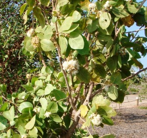 Syzygium eucalyptoides ssp bleeseri3