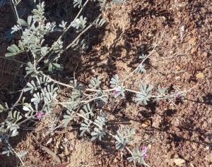 Tephrosia rosea var. clementii