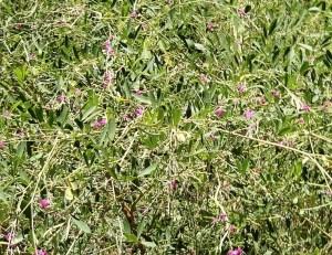 Tephrosia rosea