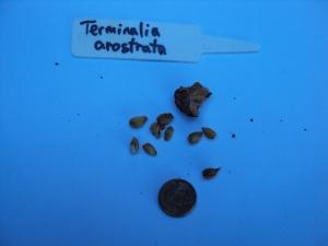 Terminalia arostrata