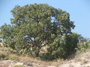 Terminalia carpentariae4