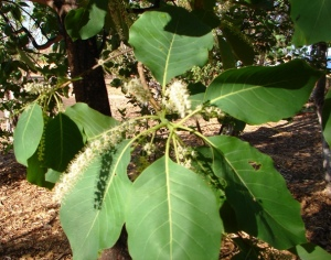 Terminalia ferdinandiana