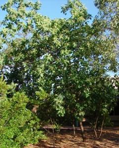 Terminalia ferdinandiana2