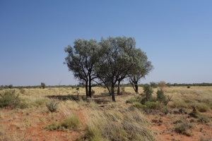 Acacia aneura