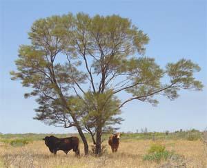 Acacia aneura_1