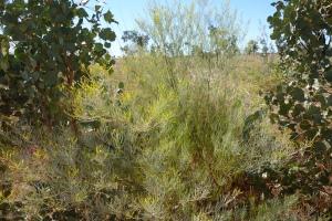 Acacia balsamea