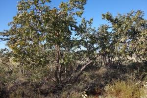Corymbia pachycarpa