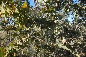 Corymbia pachycarpa1