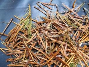 Acacia hilliana