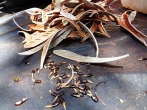 Acacia argyrea