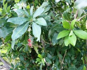 Barringtonia acutangula3
