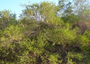 Acacia stellaticeps