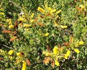 Acacia wickhamii2