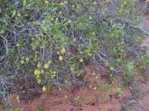 Gardenia pyramidalis3