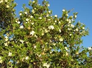 Gardenia pyriformis2