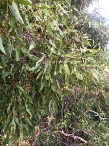 Corymbia bella 4