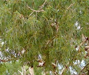 Corymbia bella lf