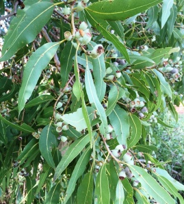 Corymbia bella