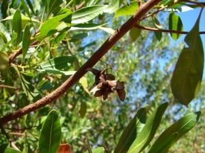 Dodonoea lanceolata5