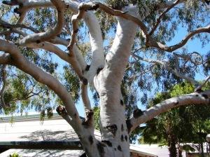 Eucalyptus bella