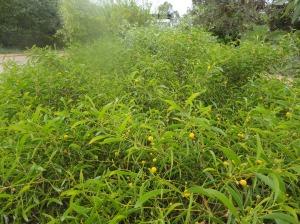 Acacia phlebocarpa