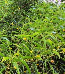 Acacia phlebocarpa2