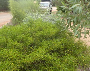 Acacia phlebocarpa3
