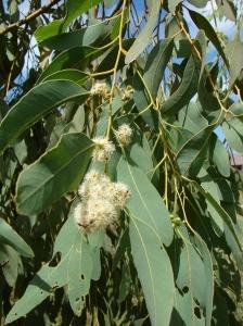 Eucalyptoides jensenii5