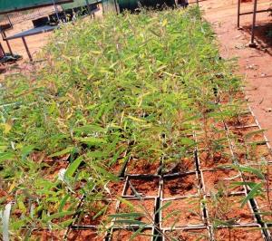 Eucalyptus jensenii b