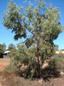 Eucalyptus jensenii