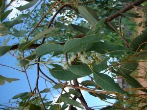 Eucalyptus jensenii2