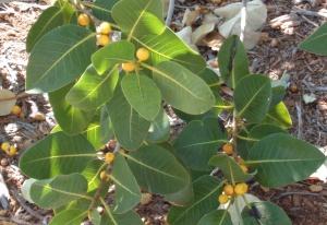 Ficus brachypoda