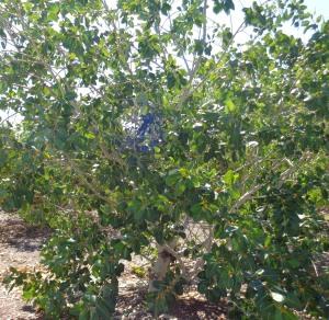 Ficus brachypoda2