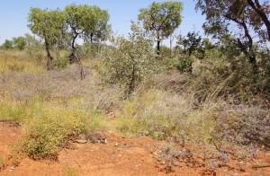 Keraudrenia exastia plant community