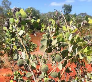 Acacia retivenea2